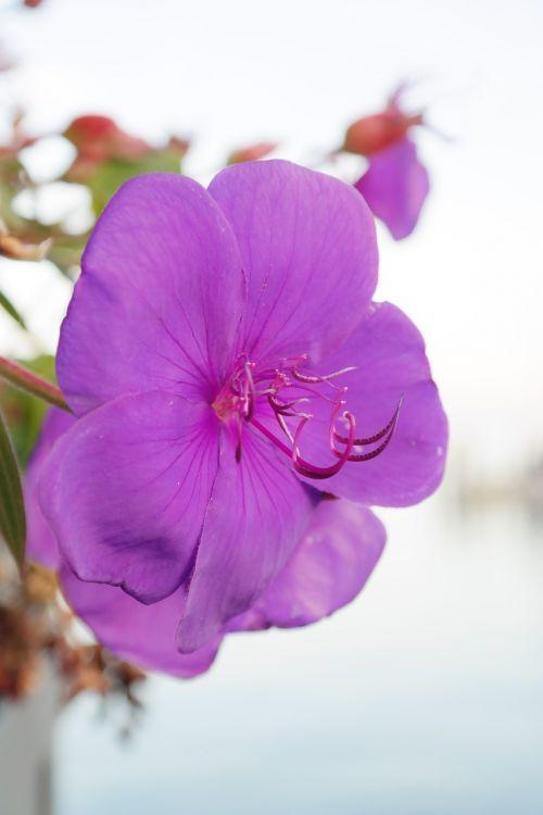 konteinerių gamykla,žiedas,žydėti,violetinė,violetinė,gėlė,tibouchina,princesės gėlė,tibouchina urvilleana,violetinis medis,tvirtas,raguotas,išlenktas,spider gėlė,juodos burnos šiltnamis,melastomataceae,Mirtis patinka,mylimai,dekoratyvinis augalas,antetas,kaktos formos,sulenktas,hakenförmig,aksominė violetinė
