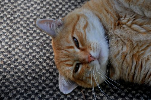 Content Yellow Tabby Cat