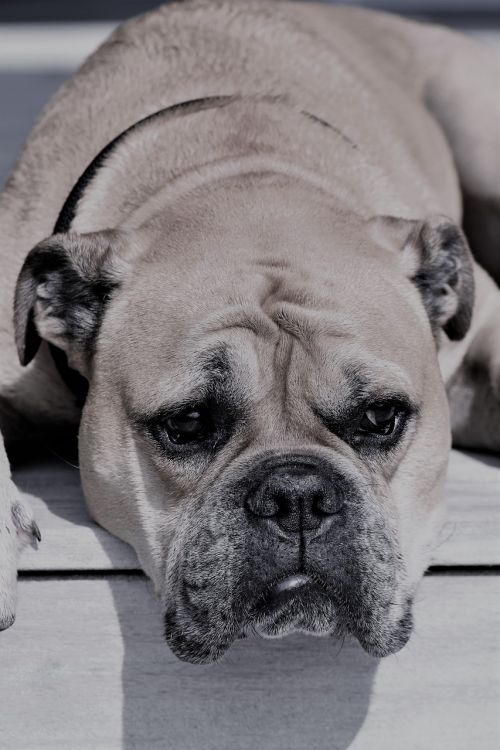 continental bulldog animal dog