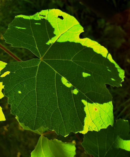Contrasting Vine, Light And Shade