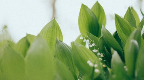 convallaria majalis lily of the valley lillies