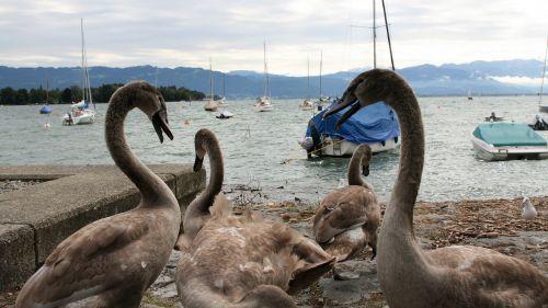 conversation lake young swans