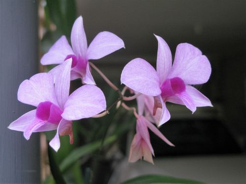 cooktown orchid orchid flowers