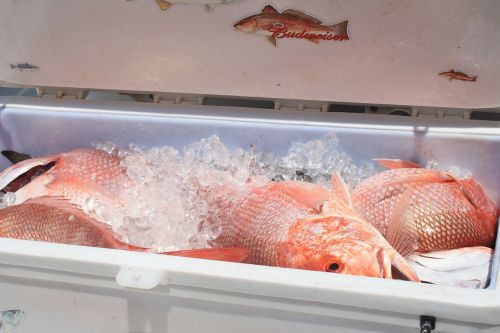 cooler seafood red snapper