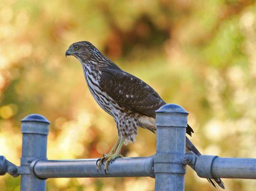 cooper's hawk hawk bird