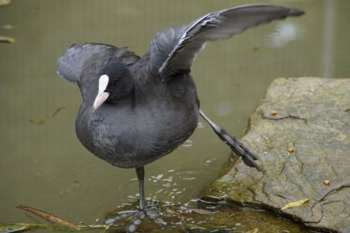 coot duck water bird