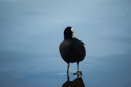 coot fulica atra ralle