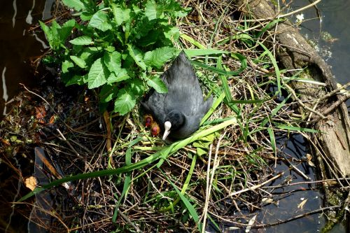 coot ralle water chicken chicks