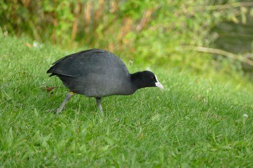 coot ralle water bird