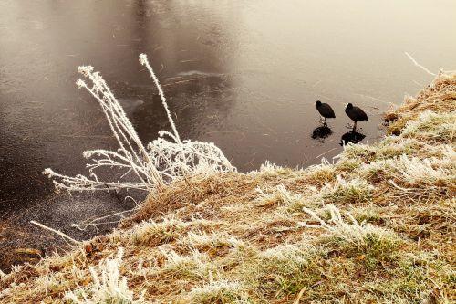 coot bird water bird