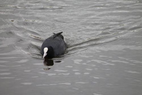 coot fulica atra water bird
