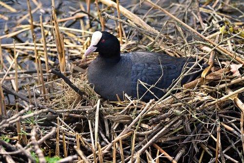 coot  bird  waterbird