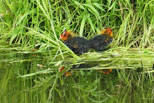 coot  fledglings  spring