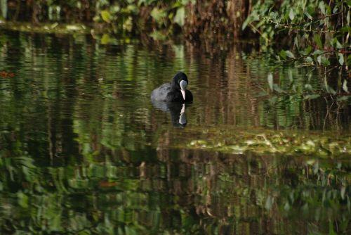 coot rallidae water bird