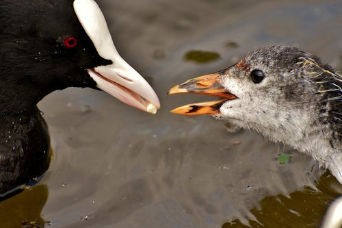 coot  chicks  feed