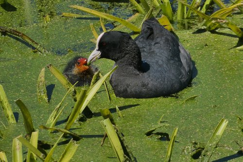 coot  young coot  feed