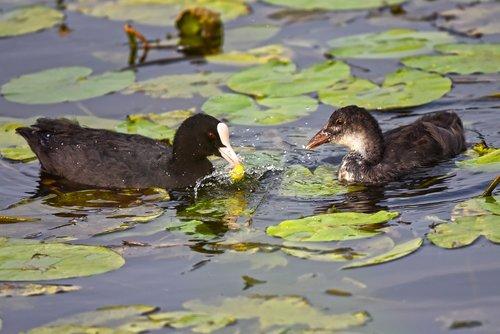 coot  eurasian coot  waterbird