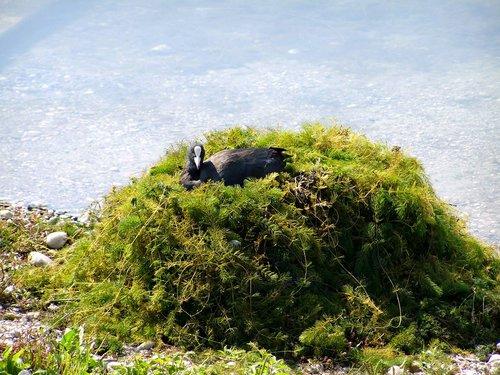 coot  waterfowl  resting bird