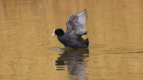 coot  lake  fulica atra