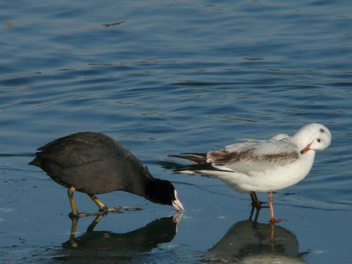 coot seagull pair