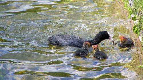 coot nestlings water