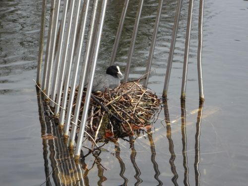 coot nest breed