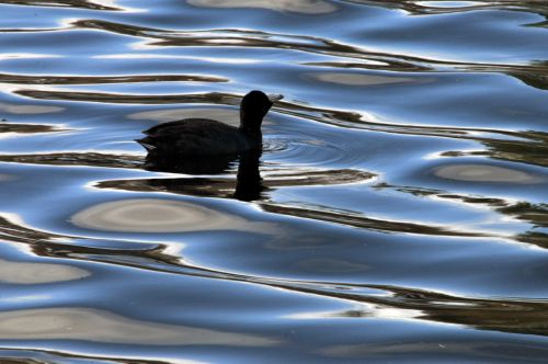 Coot In The Water Profile