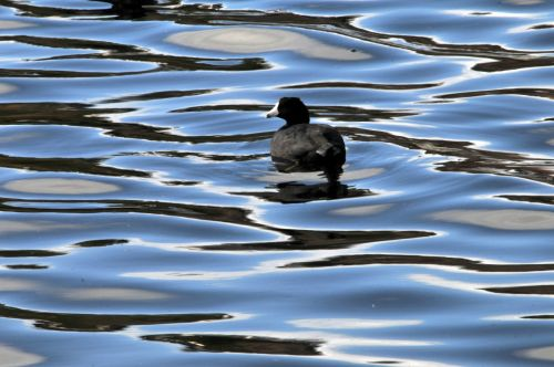 Coot In The Water