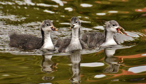 coots  chicks  waters
