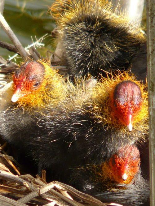 coots chicks animal
