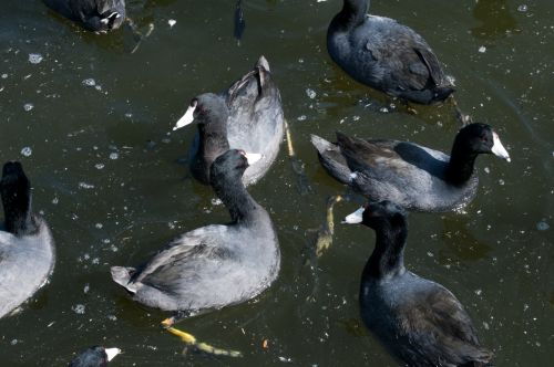 Coots Swimming