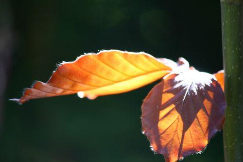 copper beech leaves tree