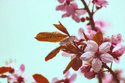 copper beech  spring  bloom