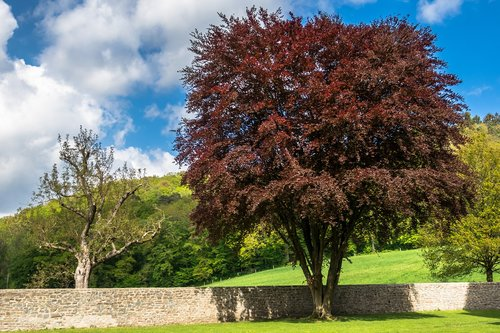 copper beech  beech  crown