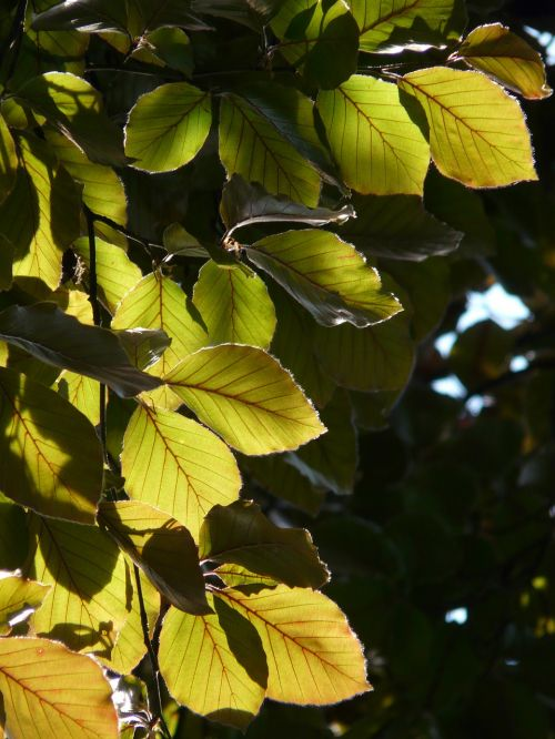 copper beech purple beech book