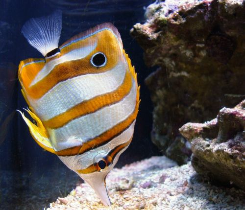 copperband butterflyfish tropical saltwater