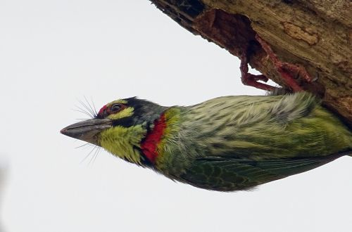 coppersmith barbet crimson-breasted barbet bird