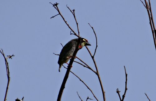 coppersmith barbet bird crimson-breasted barbet
