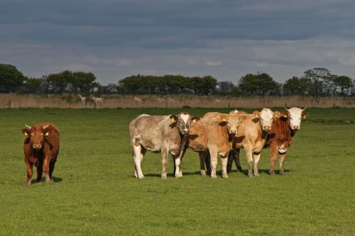 cops cattle pasture