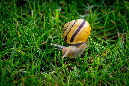 copse snail  helicidae  shell