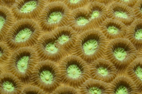 coral green indonesia