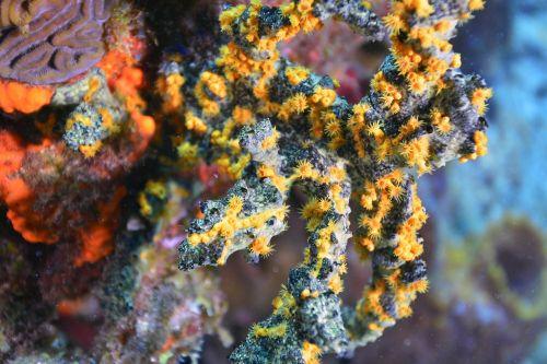 coral diving scuba diving