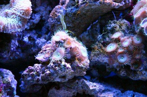 coral  polyp  aquarium