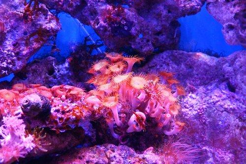 coral  polyp  actinium