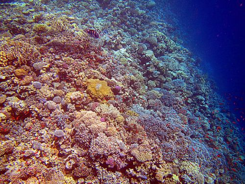 coral red sea egypt