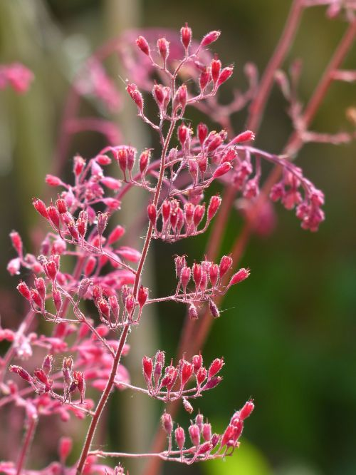 coral bells flower bronze bells