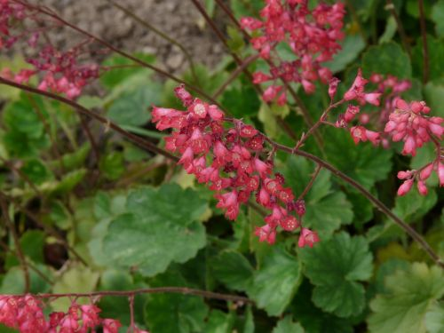 coral bells flower bloom