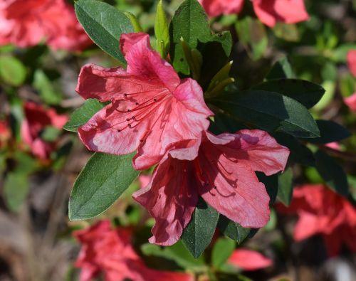 coral-pink azalea azalea flower
