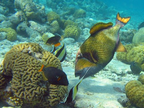 coral reef titan triggerfish brain coral