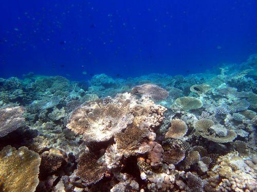 corals giant tabular maldives